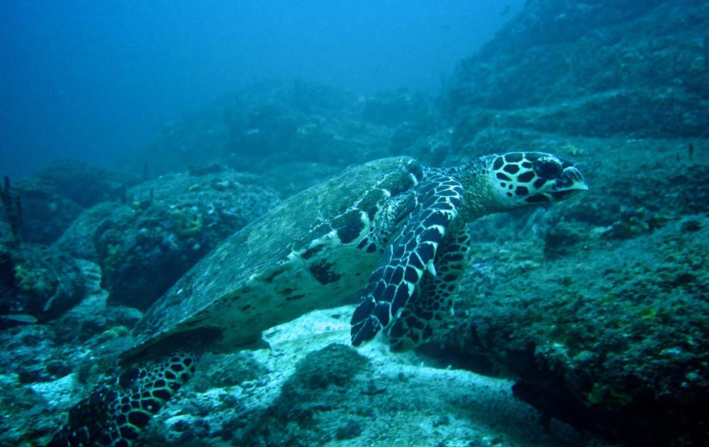 Coiba Panama Turtle Snorkel
