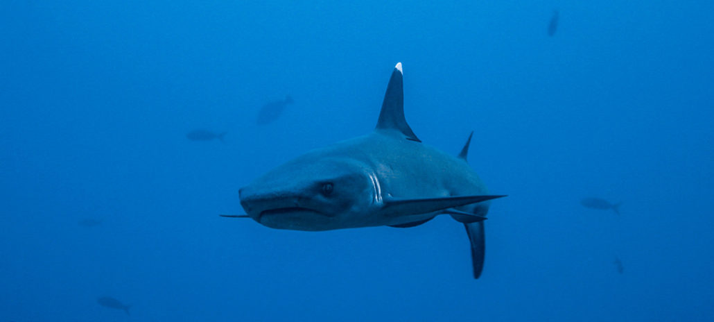 diving-with-sharks-in-coiba