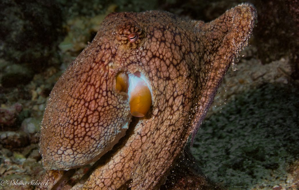 octopus-diving-coiba-panama