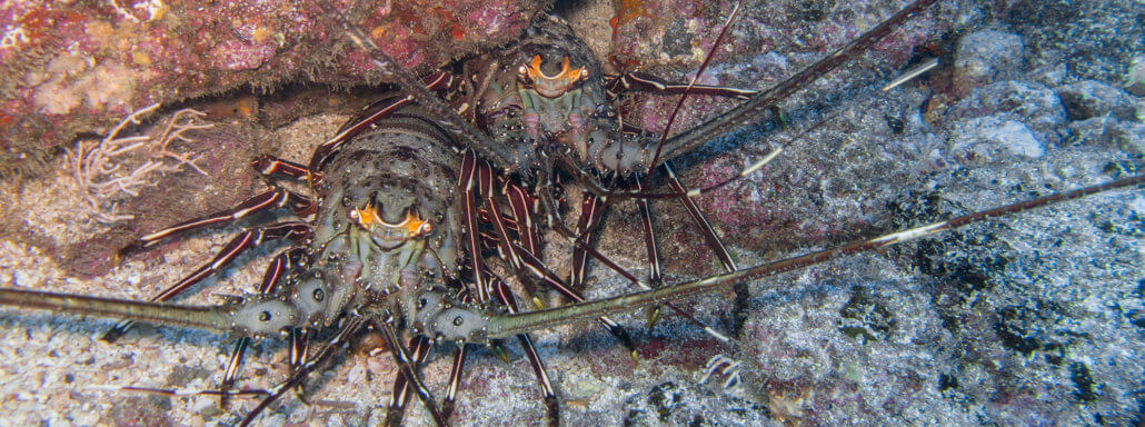 Lobsters in Coiba, Panama