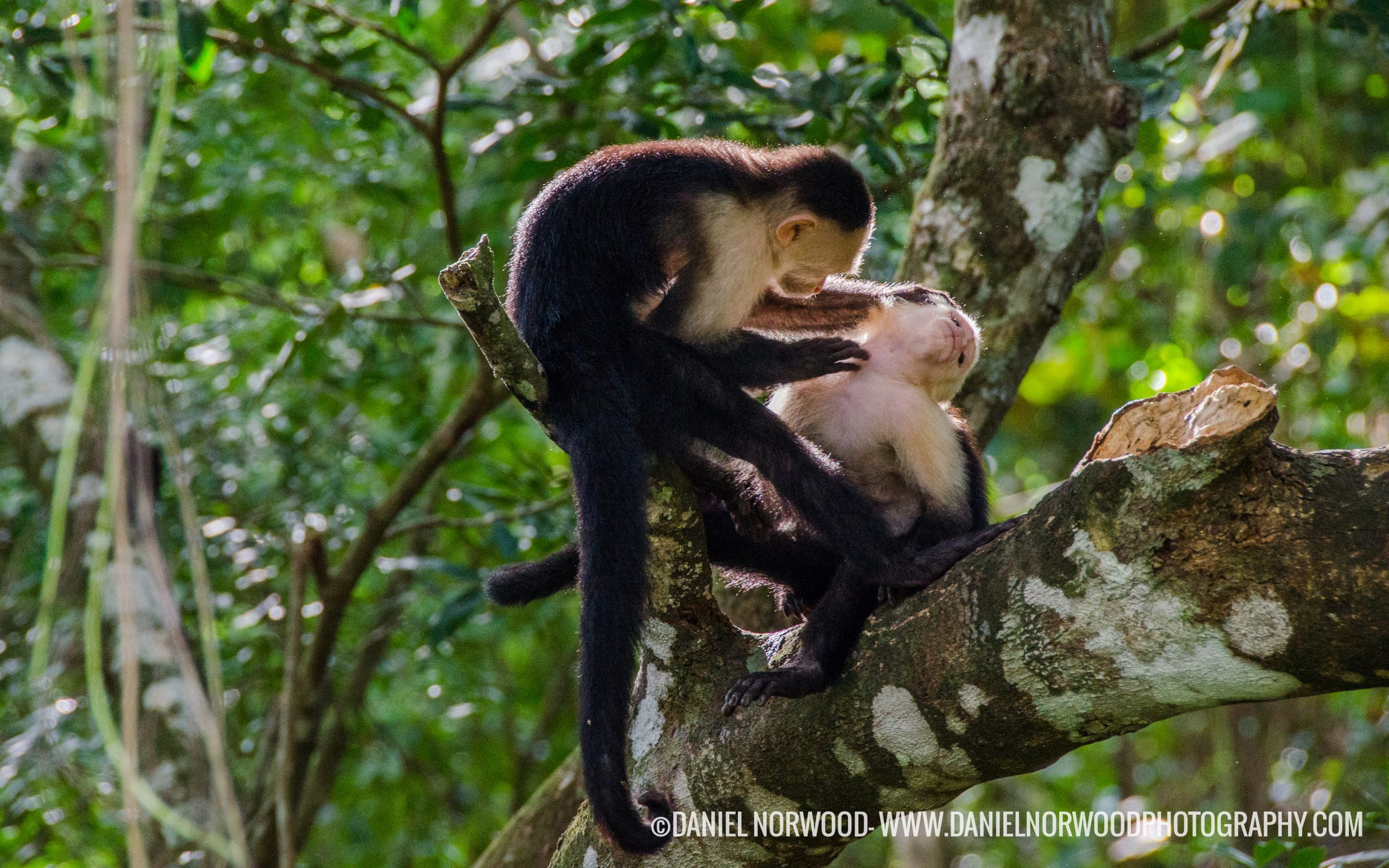 Coiba monkeys
