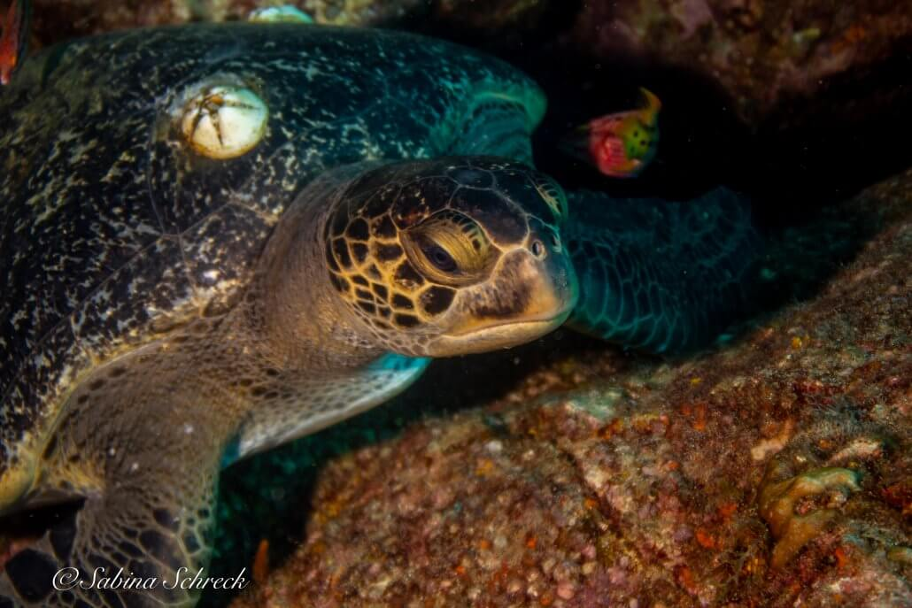 turtle-diving-coiba-panama