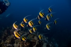 panama-scuba-diving-moorish-idol