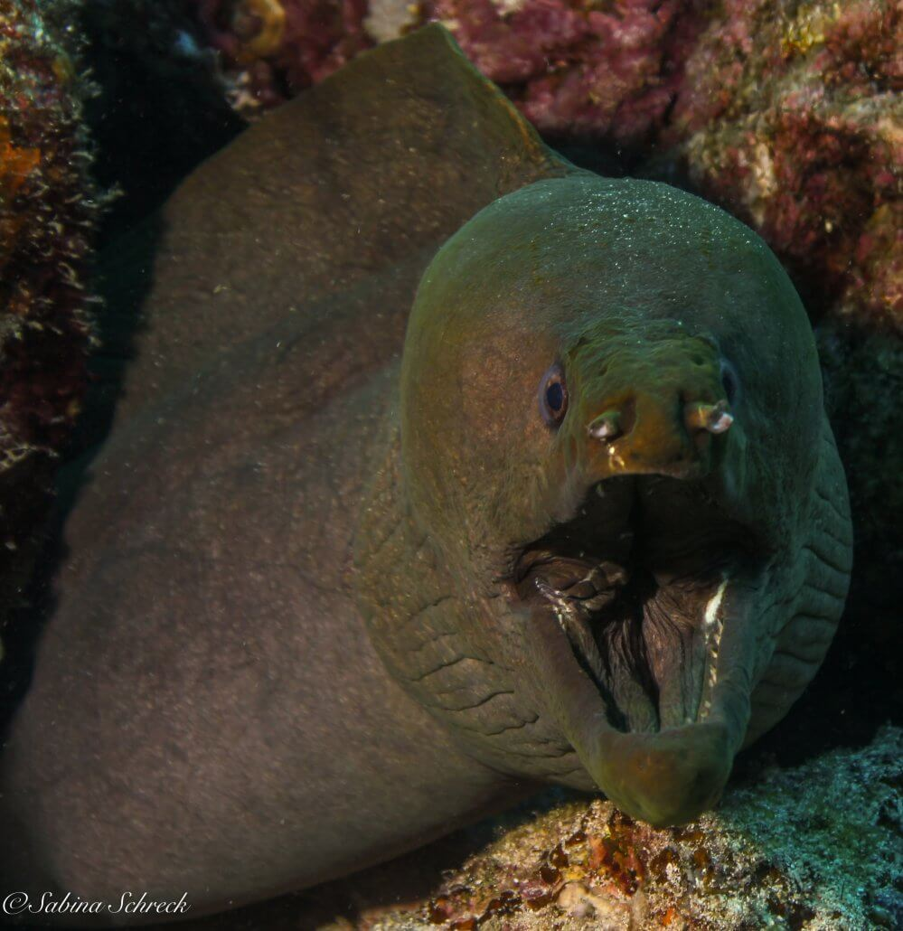 green moray
