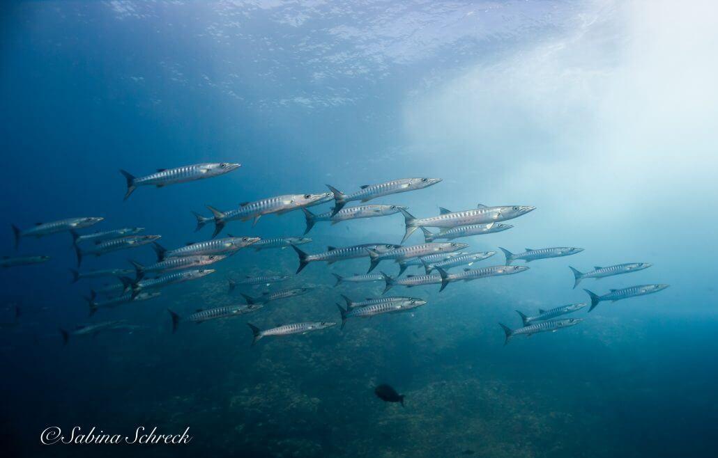 barracuda-diving-coiba-panama