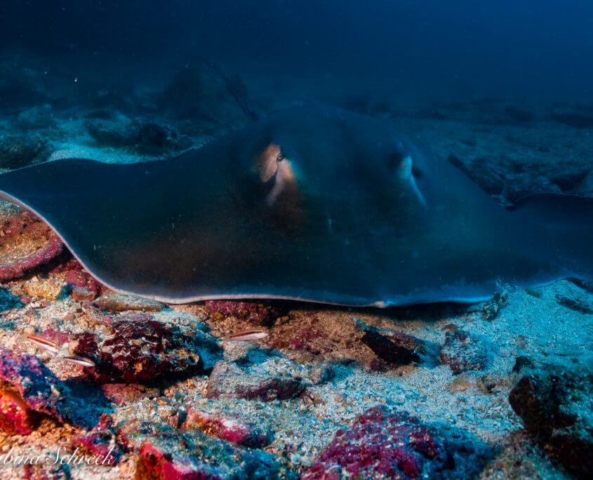 stingray-diving-coiba-panama