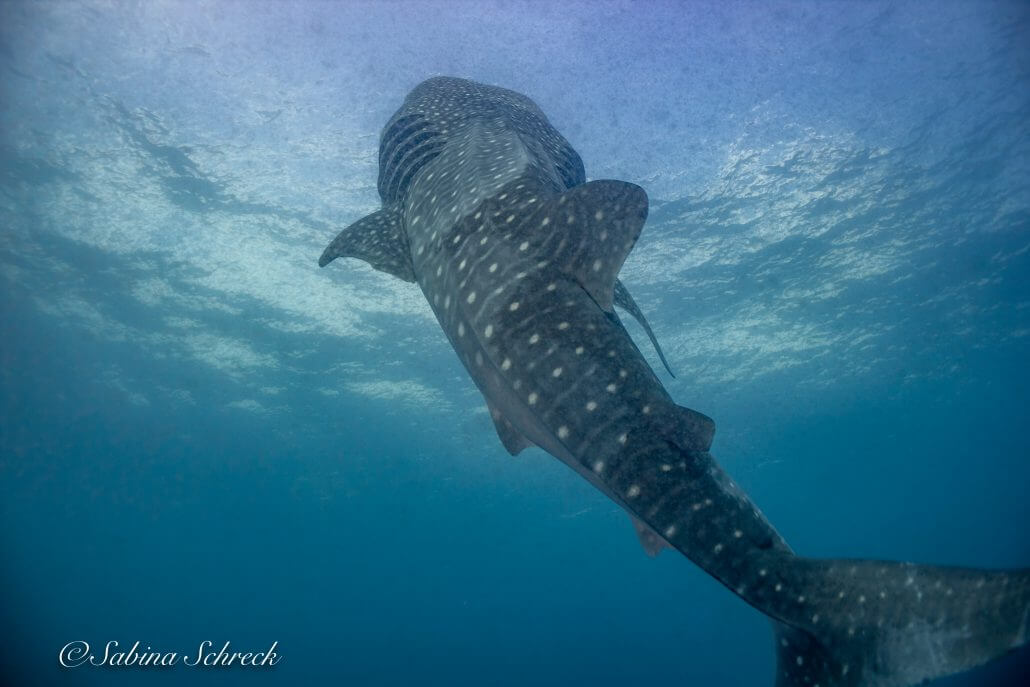 whaleshark-diving-coiba-panama