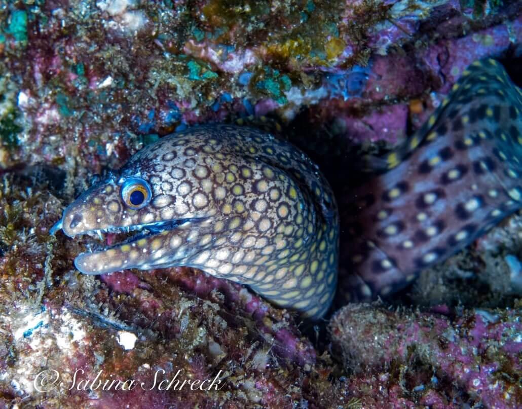 moray-diving-coiba-panama