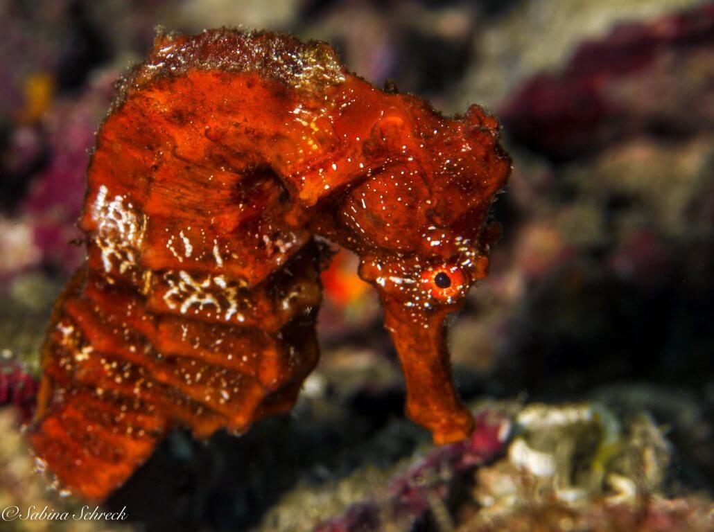 seahorse-diving-coiba-panama