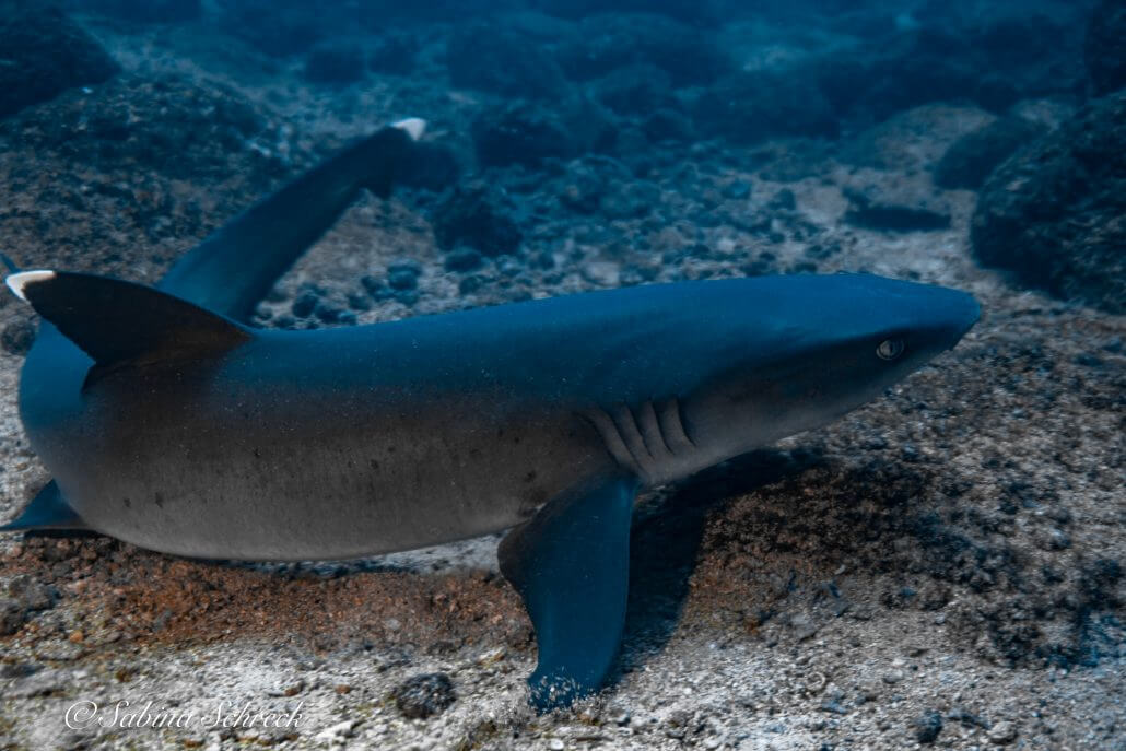shark-diving-coiba-panama
